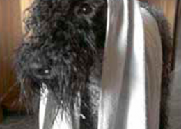 La Cadiera Kerry Blue Terriers